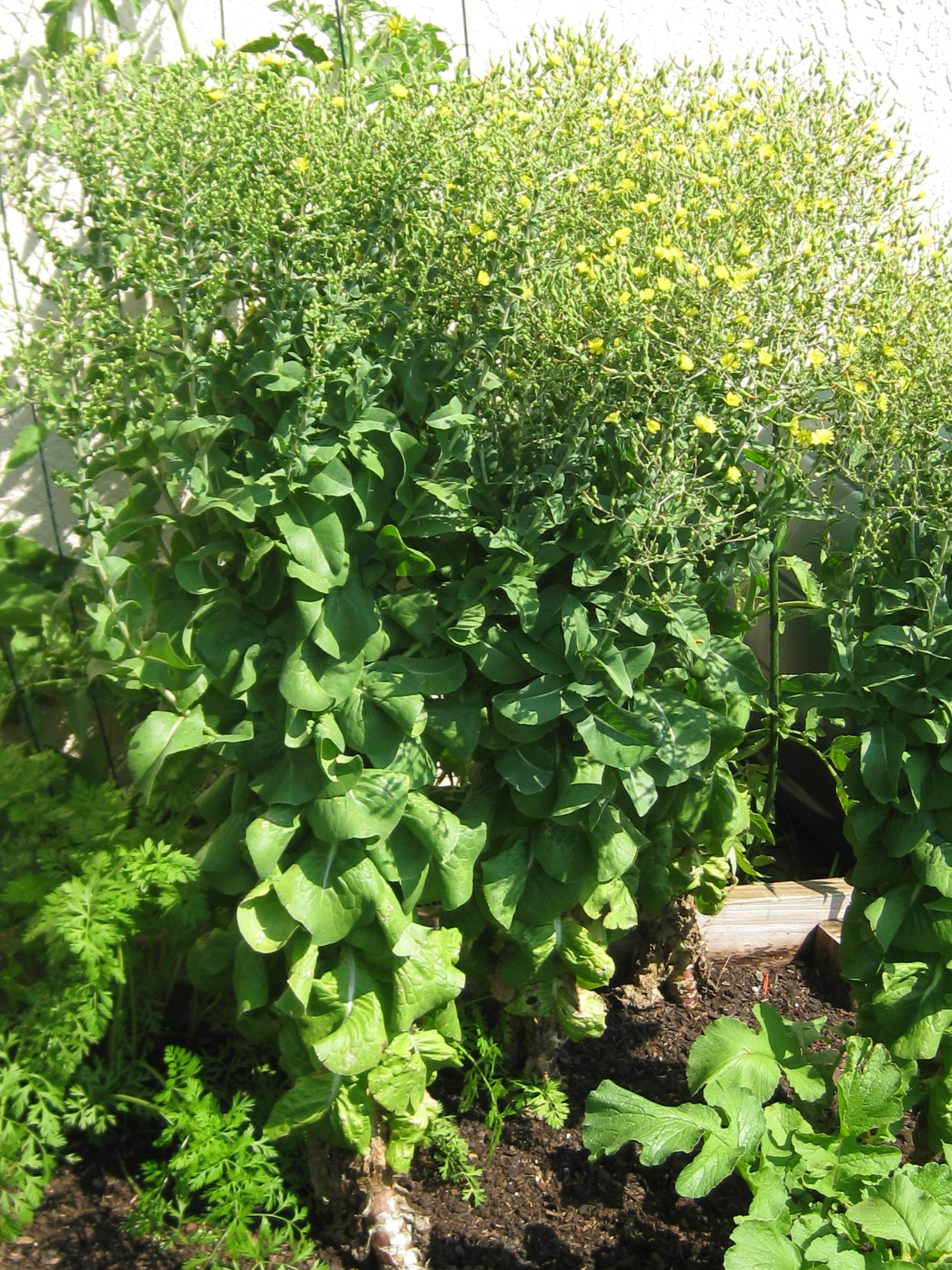 Saving lettuce seeds backyard fl gardening - How to store lettuce from garden ...